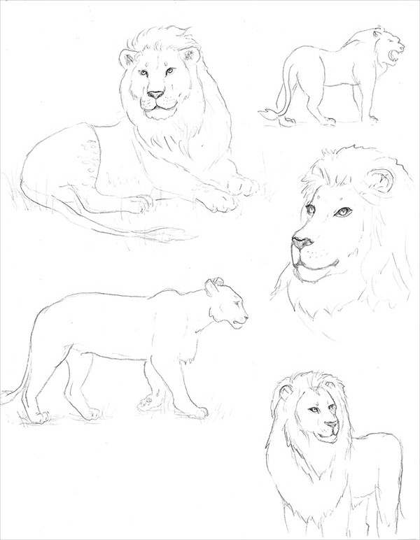 Daily Lion Drawing