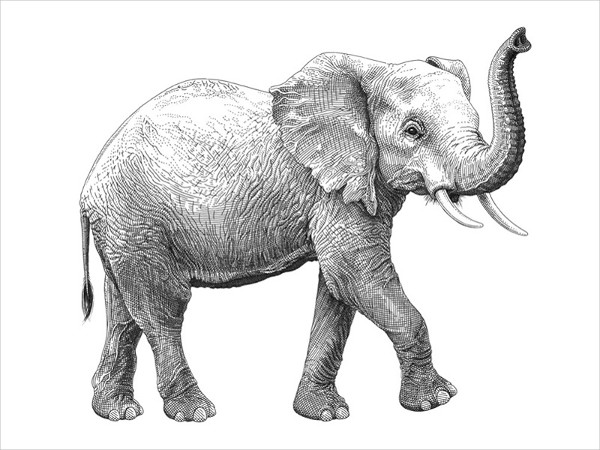 Elephant Drawings 19 Free Amp Premium Download