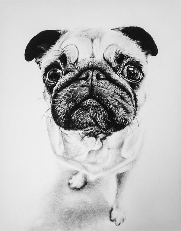 Pug Portrait Drawing
